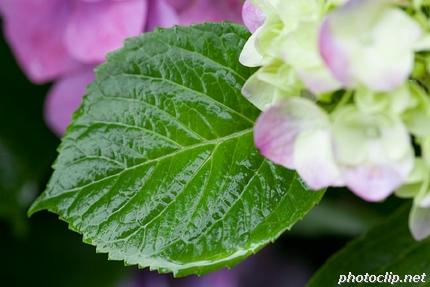 アジサイの葉にはなぜ虫食い跡がないんだ?
