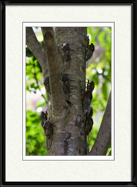 セミがいっぱいなる木(笑)