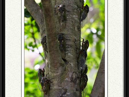 ♪ この~木なんの木 「セミの木」 「セミの木」 ♪