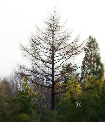 フォーシーズンズのマークに似ている木