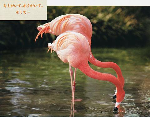 [動物写真館] 床の間フラミンゴ