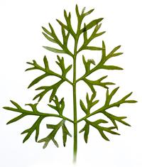 ニンジンの葉